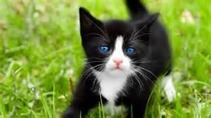 black kitten with blue eyes full hd desktop wallpapers 1080p