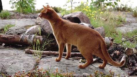 Abyssinian cats going wild in the forest!! - YouTube