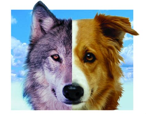 are dogs descended from wolves dogs are not descended from modern wolves