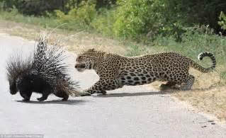 Do Jaguars Eat Pythons Rock Python Eats A 13 8 Kg Porcupine With A Grim