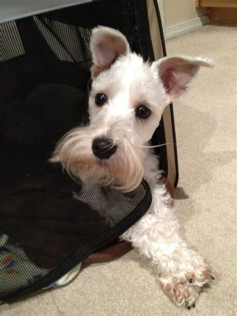 schnauzer puppies for sale in indiana miniature schnauzer puppies for sale in indiana breeds picture