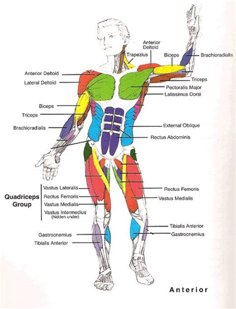 muscles of diagram muscles diagrams diagram of muscles and anatomy charts