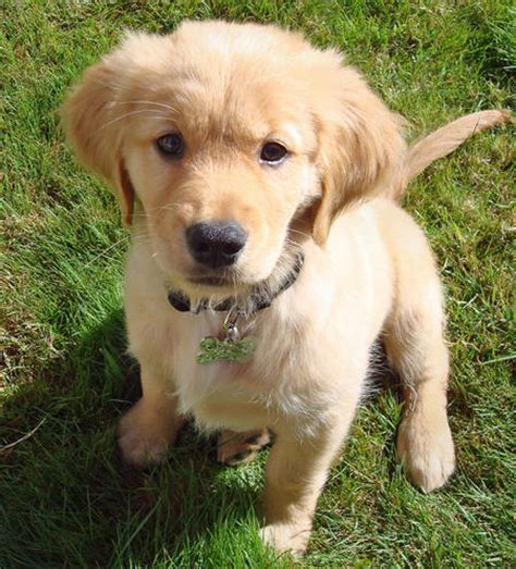 buy golden retriever puppies doug the golden retriever pictures 446021