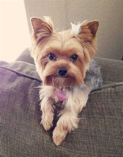yorkie hair or fur top 105 yorkie haircuts pictures terrier haircuts
