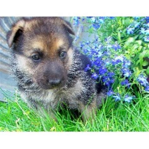 free dogs in nc hundsteiger kennels german shepherd breeder in vale carolina