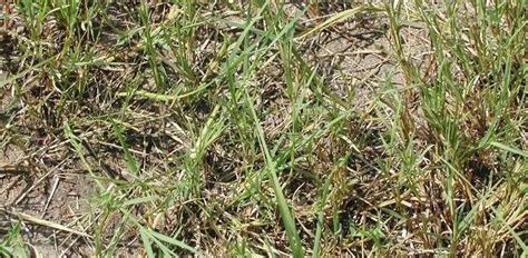 south african couch grass bermudagrass bahamas grass devil s grass african couch