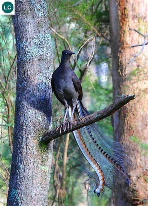 lyrebird beautiful moving and 0007501897 340 best superb lyrebird images on exotic birds birds and national parks