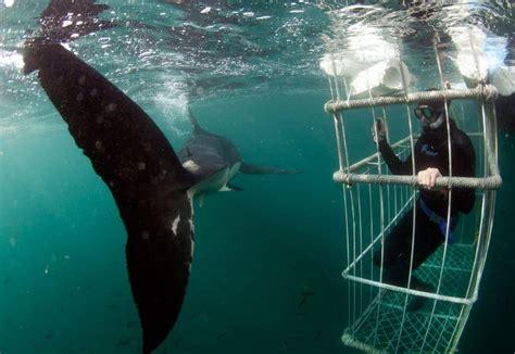 apex dive great white cage diving with apex predators cape town