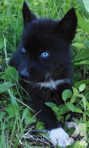 black husky puppies akc siberian husky puppy solid black blue ready now for sale in peebles