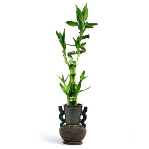 Lucky Bamboo Vase by Rustic Vase Spiral Lucky Bamboo Arrangement