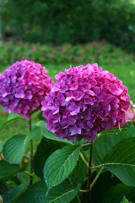 free hydrangea change color at img e on home design ideas