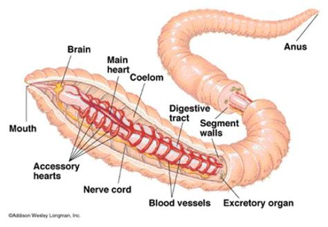 earthworm anatomy label the diagram answer key earthworm circulatory system 3d science notes