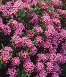 flowering shrubs canada 31 best images about hill on gardens trees