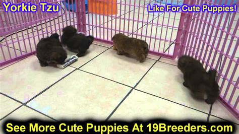 yorkie puppies for sale in erie pa yorkie tzu puppies for sale in philadelphia pennsylvania pa borough state