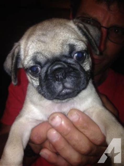 american pug puppies akc pug puppies for sale in tacoma washington classified americanlisted