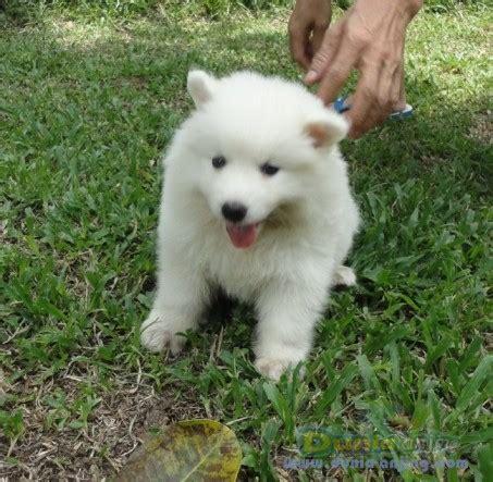 Anakan Anjing Samoyed dunia anjing jual anjing samoyed jual anakan samoyed