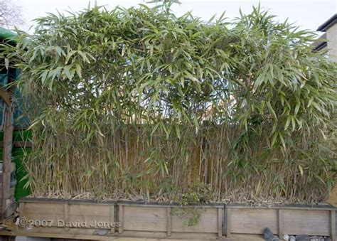 Planting Bamboo In Planters by Bamboo Planters Containers Quotes