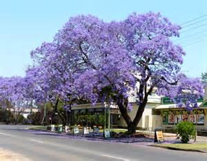 New South Wales Flower - jacaranda festival 171 margosnotebook