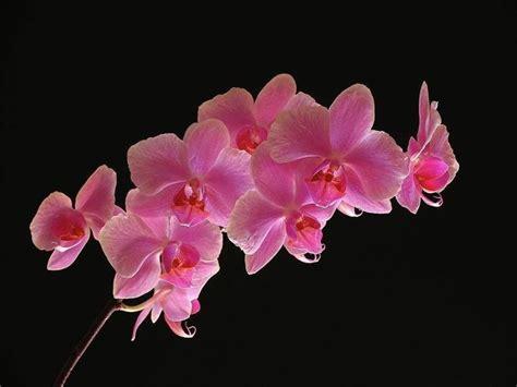 fiore orchidea orchidee come curarle e coltivarle in vaso il verde