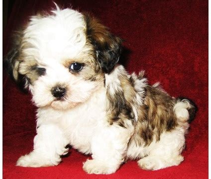 adopt shih tzu nashville 8 best puppies images on puppy makeup and cat eye eyeliner
