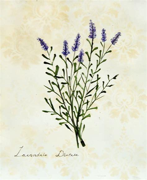 the botanical art files lavender botanical art on the brink