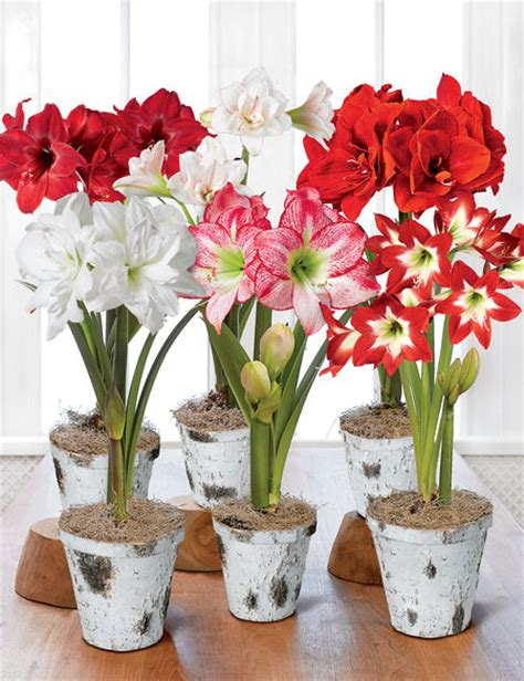 Gardeners Supply Amaryllis Potted Amaryllis Bulbs 6 Varieties In Birch Pots