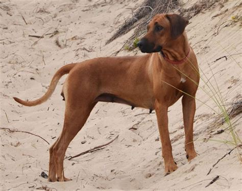 indian breeds indian breeds dogs from india indian dogs k9 research lab