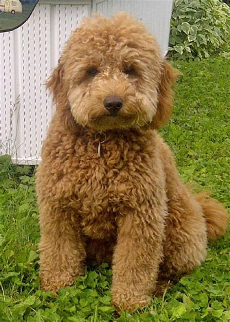 mini goldendoodle tucson 25 b 228 sta miniature labradoodle for sale id 233 erna p 229