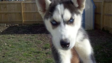 ckc puppies ckc siberian husky siberian husky breeder newport news virginia