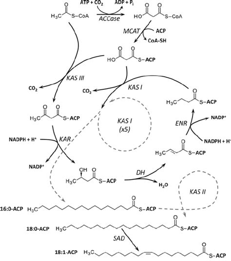 fatty acid synthesis pathway diagram 2 de novo fatty acid biosynthesis in plants abbreviations