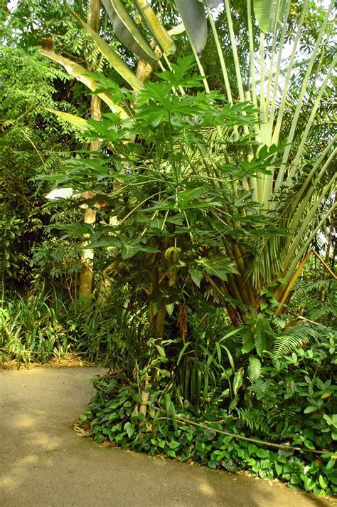 papaya pflanze kaufen 498 papaya pflanze kaufen papaya saatgut carica papaya