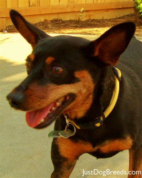 rottweiler rescue washington state miniature pinscher chihuahua mix miniature pinscher and chihuahua mix for sale