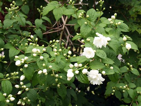 white flower shrub unrecognized plants