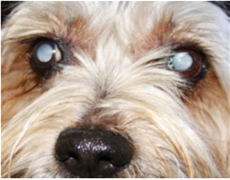 Diabetes And Blindness In Dogs cataracts facts and fallacies spoodle website