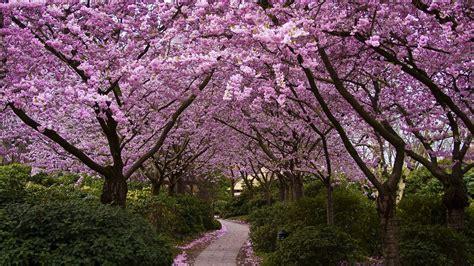 cherry tree 4 in 1 cherry trees in bloom wallpaper 9576