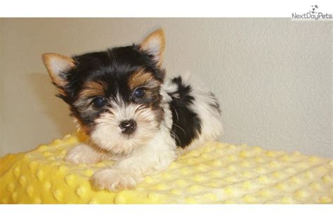 white yorkie teacup dogs and puppies for sale and adoption oodle marketplace