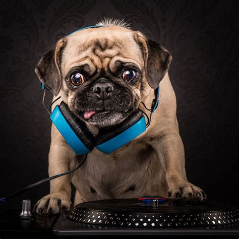 master pug pugs dressed as rappers are all about the pug