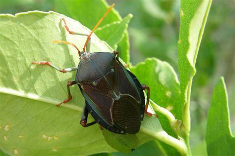 bug treer pest control managing bronze orange bugs on citrus trees