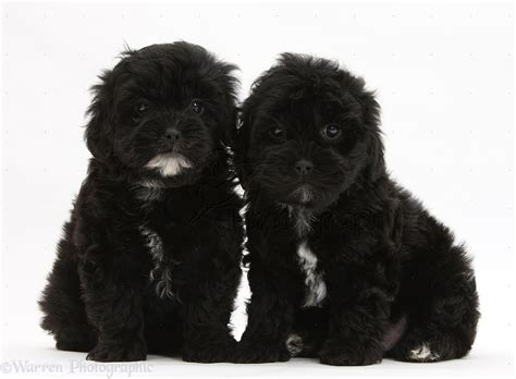 shih tzu poodle black dogs black pooshi poodle x shih tzu pups photo wp18789