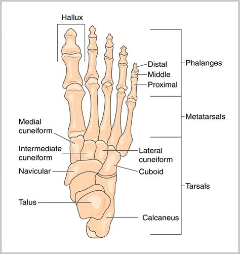 bone joint diagram foot anatomy joints human anatomy diagram