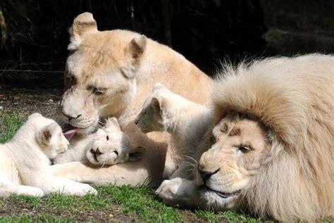 imagenes de tres leones juntos tres cachorros de le 243 n blanco nacen en un zoo de francia