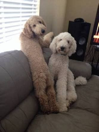 goldendoodle puppy nipping 25 best standard goldendoodle ideas on doodle