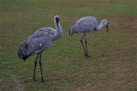 sandhill crane picture gallery bird photography with