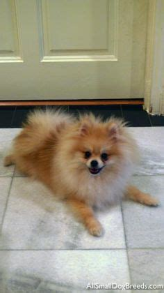 shunsuke pomeranian for sale shunsuke puppies for sale teddy cut pomeranian how puppys