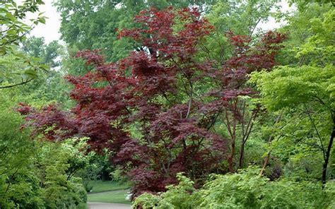 buy suminagashi japanese maple 1 gallon japanese maples buy plants online