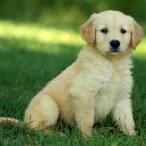purebred golden retriever price golden retriever purebred puppy litters for sale in hoobly classifieds
