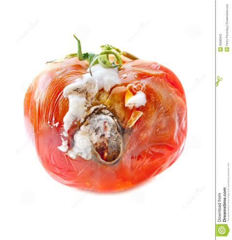 rotten tomatoes rotten tomato stock image image of fruit garden