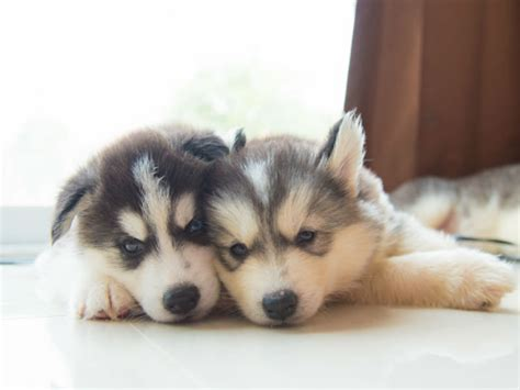 husky puppy names 36 husky names for your new best friend american kennel club