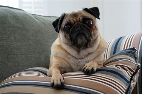 reasons to get a pug top reasons why small dogs rule and big dogs drool