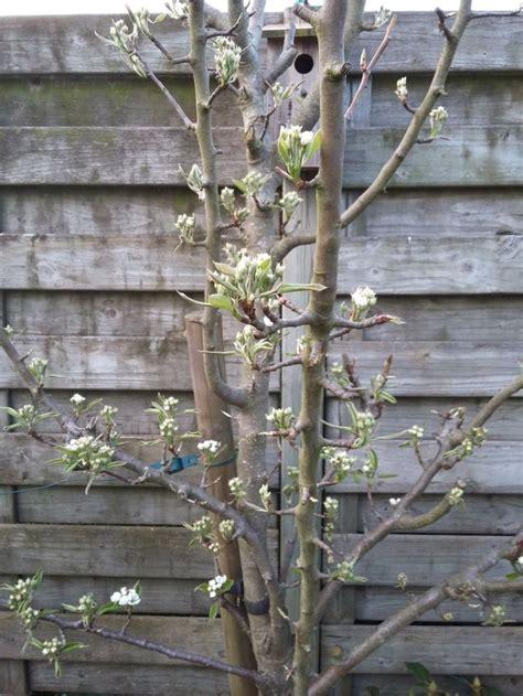 welke fruitboom in de tuin 25 beste idee 235 n over fruitboom tuin op pinterest